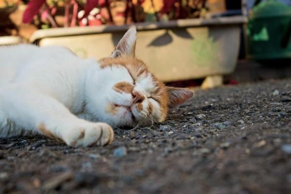 睡眠する猫