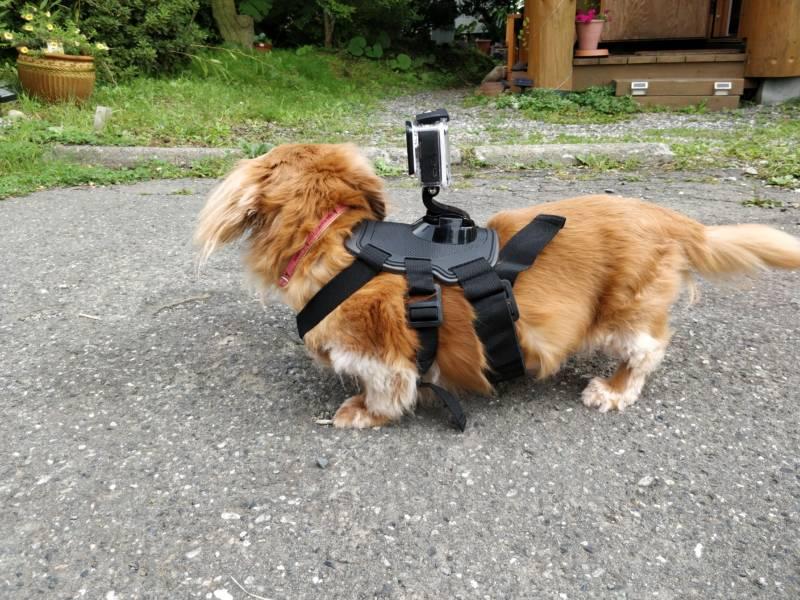 犬にGoProを装着する一番簡単な方法